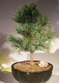 Çam ağacı bonsai bitkisi satışı  Gaziantep kaliteli taze ve ucuz çiçekler
