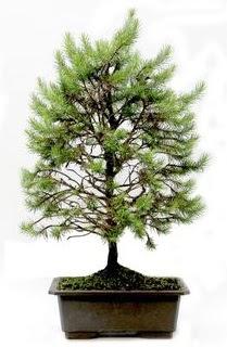 *** STOKTA YOK - Çam ağacı bonsai bitkisi satışı  Gaziantep çiçek satışı