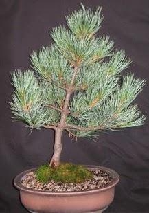 Bonsai çam ağacı japon ağacı bitkisi  Gaziantep online çiçekçi , çiçek siparişi