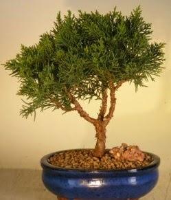 Servi çam bonsai japon ağacı bitkisi  Gaziantep anneler günü çiçek yolla