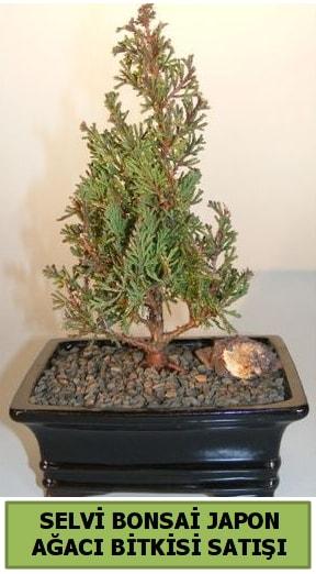 Selvi çam japon ağacı bitkisi bonsai  Gaziantep çiçek online çiçek siparişi