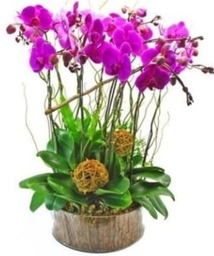 Ahşap kütükte lila mor orkide 8 li  Gaziantep çiçek yolla , çiçek gönder , çiçekçi