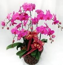 Sepet içerisinde 5 dallı lila orkide  Gaziantep kaliteli taze ve ucuz çiçekler