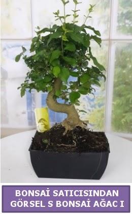 S dal eğriliği bonsai japon ağacı  Gaziantep çiçek servisi , çiçekçi adresleri