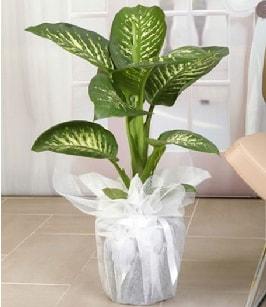 Tropik saksı çiçeği bitkisi  Gaziantep çiçek servisi , çiçekçi adresleri