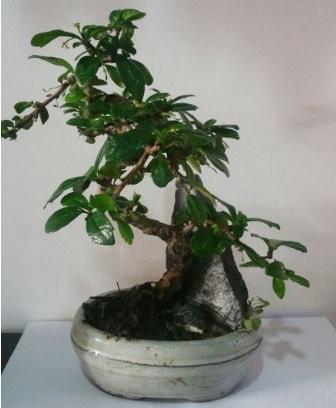 S şeklinde ithal bonsai ağacı  Gaziantep anneler günü çiçek yolla