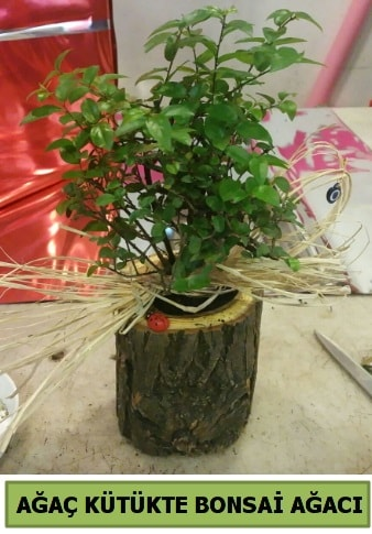 Doğal ağaç kütük içerisinde bonsai ağacı  Gaziantep 14 şubat sevgililer günü çiçek