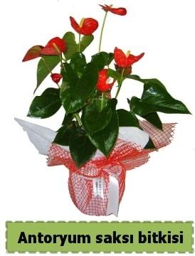 Antoryum saksı bitkisi satışı  Gaziantep çiçek mağazası , çiçekçi adresleri