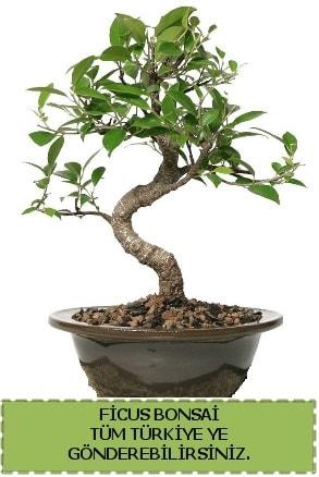 Ficus bonsai  Gaziantep 14 şubat sevgililer günü çiçek