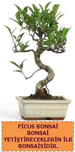 Ficus bonsai 15 ile 25 cm arasındadır  Gaziantep anneler günü çiçek yolla