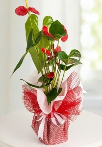 Anthurium Saksı Çiçeği  Gaziantep güvenli kaliteli hızlı çiçek