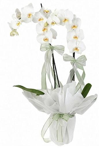 Çift Dallı Beyaz Orkide  Gaziantep hediye çiçek yolla