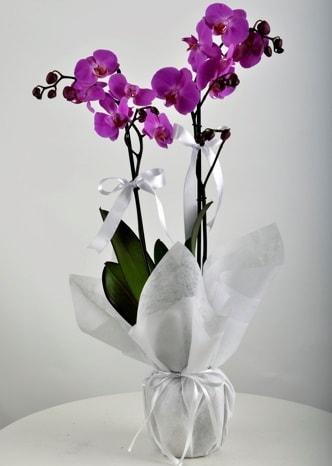 Çift dallı saksıda mor orkide çiçeği  Gaziantep çiçek yolla
