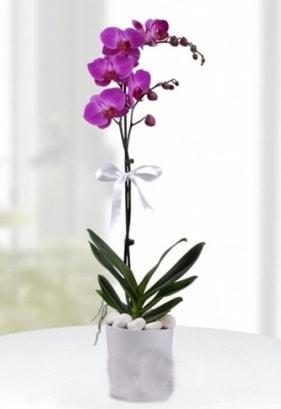 Tek dallı saksıda mor orkide çiçeği  Gaziantep İnternetten çiçek siparişi