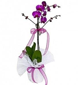 Tek dallı saksıda ithal mor orkide çiçeği  Gaziantep İnternetten çiçek siparişi