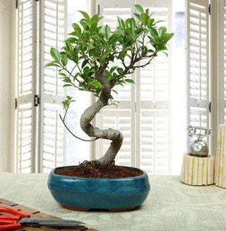 Amazing Bonsai Ficus S İthal  Gaziantep çiçek gönderme sitemiz güvenlidir