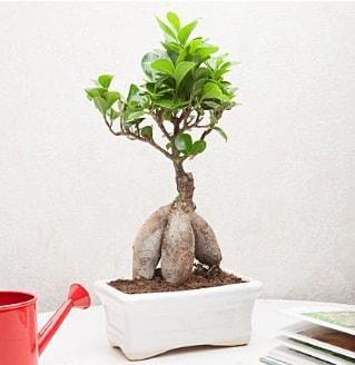 Exotic Ficus Bonsai ginseng  Gaziantep internetten çiçek satışı