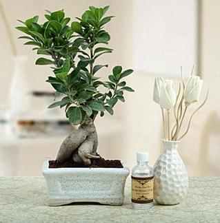 Ginseng ficus bonsai  Gaziantep İnternetten çiçek siparişi