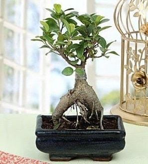 Appealing Ficus Ginseng Bonsai  Gaziantep hediye çiçek yolla