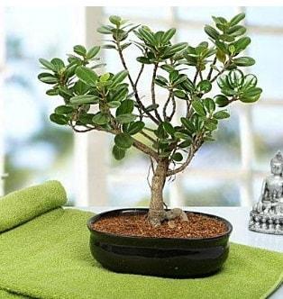 Lovely Ficus Iceland Bonsai  Gaziantep hediye çiçek yolla
