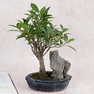 Japon ağacı Evergreen Ficus Bonsai  Gaziantep 14 şubat sevgililer günü çiçek