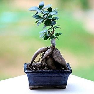 Marvellous Ficus Microcarpa ginseng bonsai  Gaziantep çiçek yolla