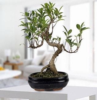 Gorgeous Ficus S shaped japon bonsai  Gaziantep online çiçek gönderme sipariş