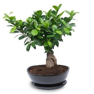 Ginseng bonsai ağacı özel ithal ürün  Gaziantep çiçek yolla , çiçek gönder , çiçekçi