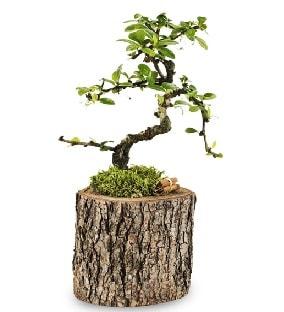 Doğal kütükte S bonsai ağacı  Gaziantep çiçek servisi , çiçekçi adresleri