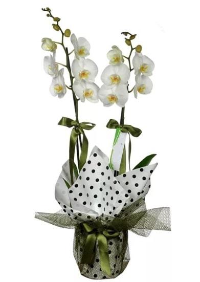 Çift Dallı Beyaz Orkide  Gaziantep ucuz çiçek gönder