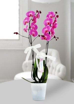 Çift dallı mor orkide  Gaziantep İnternetten çiçek siparişi