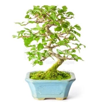 S zerkova bonsai kısa süreliğine  Gaziantep uluslararası çiçek gönderme