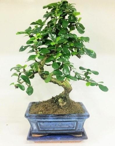 S Bonsai japon ağacı bitkisi  Gaziantep çiçek , çiçekçi , çiçekçilik