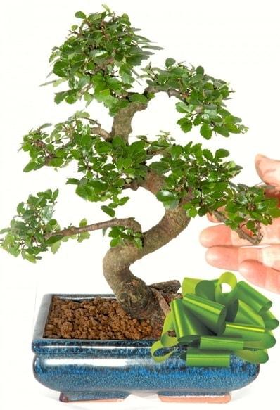 Yaklaşık 25 cm boyutlarında S bonsai  Gaziantep online çiçekçi , çiçek siparişi