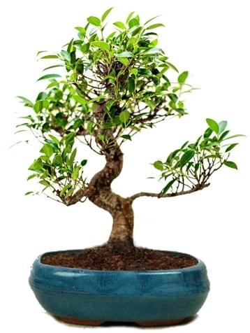 25 cm ile 30 cm aralığında Ficus S bonsai  Gaziantep 14 şubat sevgililer günü çiçek