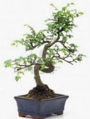 S gövde bonsai minyatür ağaç japon ağacı  Gaziantep çiçek servisi , çiçekçi adresleri