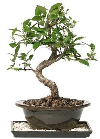 Altın kalite Ficus S bonsai  Gaziantep çiçek online çiçek siparişi  Süper Kalite