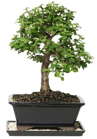 15 cm civarı Zerkova bonsai bitkisi  Gaziantep online çiçekçi , çiçek siparişi