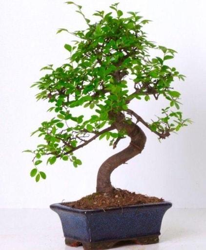 S gövdeli bonsai minyatür ağaç japon ağacı  Gaziantep 14 şubat sevgililer günü çiçek