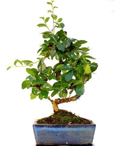 S gövdeli carmina bonsai ağacı  Gaziantep anneler günü çiçek yolla  Minyatür ağaç