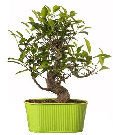 Ficus S gövdeli muhteşem bonsai  Gaziantep online çiçekçi , çiçek siparişi