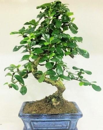 Zelkova S gövdeli Minyatür ağaç Bonzai  Gaziantep hediye sevgilime hediye çiçek