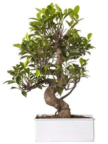 Exotic Green S Gövde 6 Year Ficus Bonsai  Gaziantep 14 şubat sevgililer günü çiçek