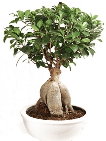 Ginseng bonsai japon ağacı ficus ginseng  Gaziantep uluslararası çiçek gönderme